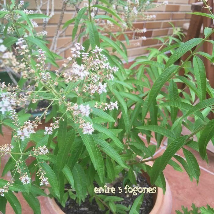 Verbena Citronela